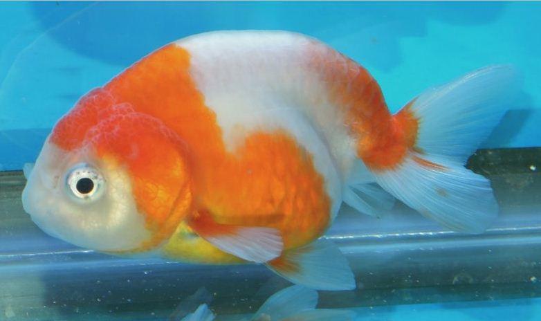 Goldfische und diverses anderes bin neu hier for Goldfische teich winter